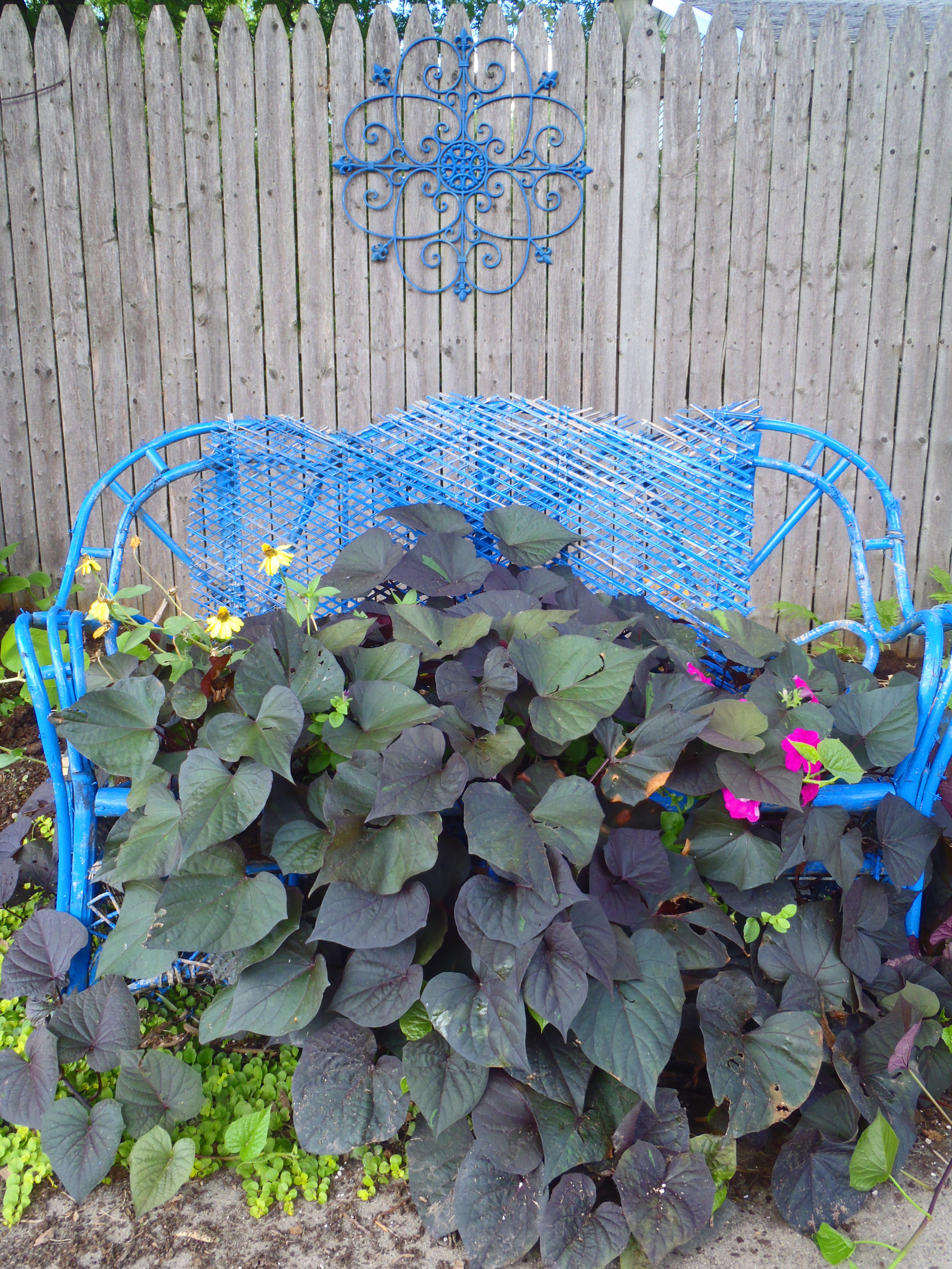 wicker container garden with sweet potato vine blue