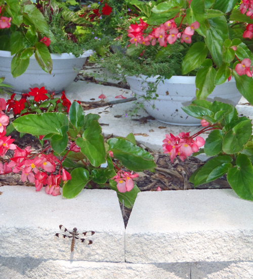 How To Grow A Dragon Wing Begonia Plant;The Shade Queen of the Annual Flowers