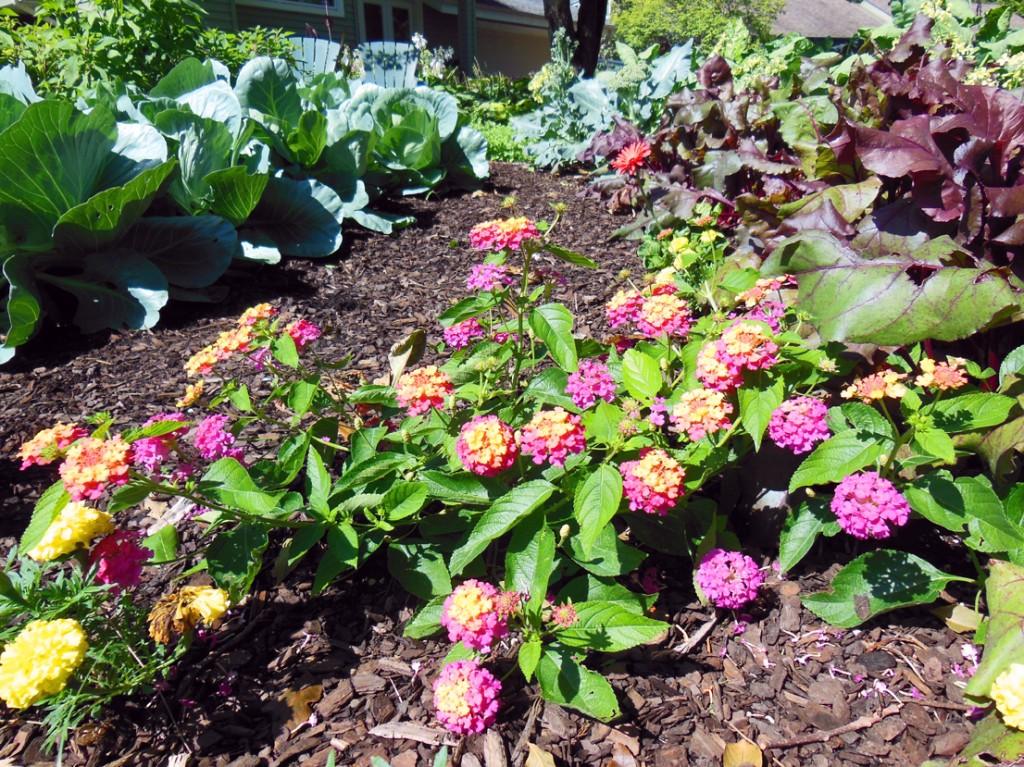 Luscious Berry Blend Lantana Flowers in an Onion Row Garden