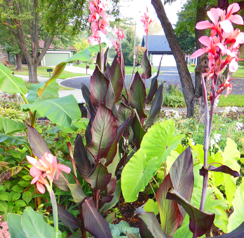 How To Save Money And Over Winter Tropical Plants Like Canna