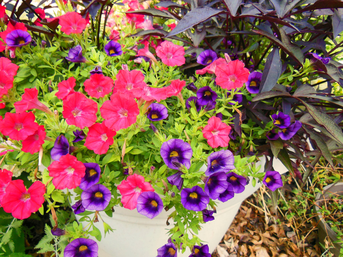 Purple flower of the year calibrachoa grape punch is the longest calibrachoa combination izmirmasajfo