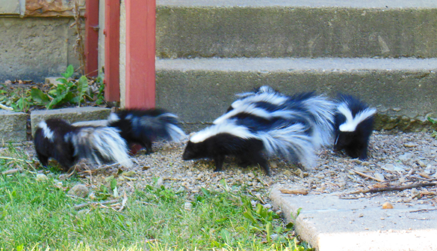 Best photos - skunk babies