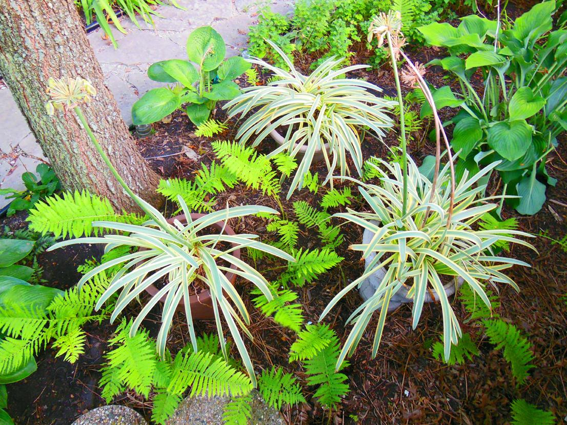 Grow agapanthus for bi colored foliage shawna coronado bi color foliage agapanthus africanus summer sky ppaf izmirmasajfo Images