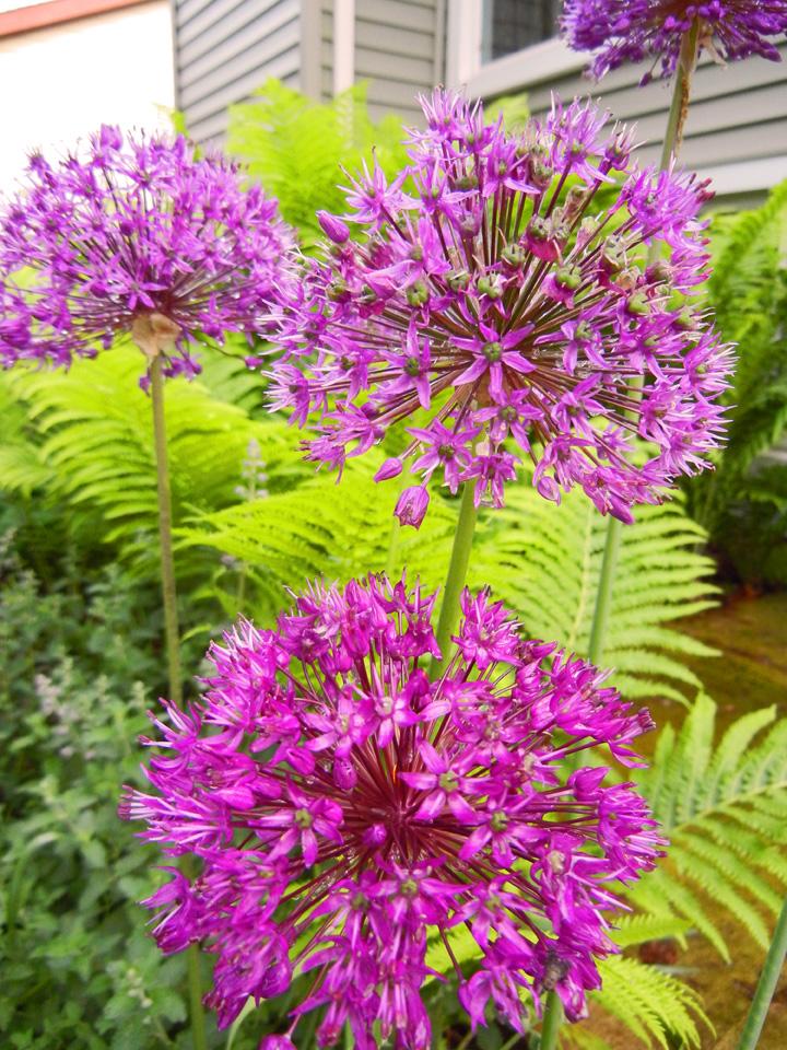 How to make a garden wreath from dried allium flowers shawna coronado allium flowers mightylinksfo Image collections