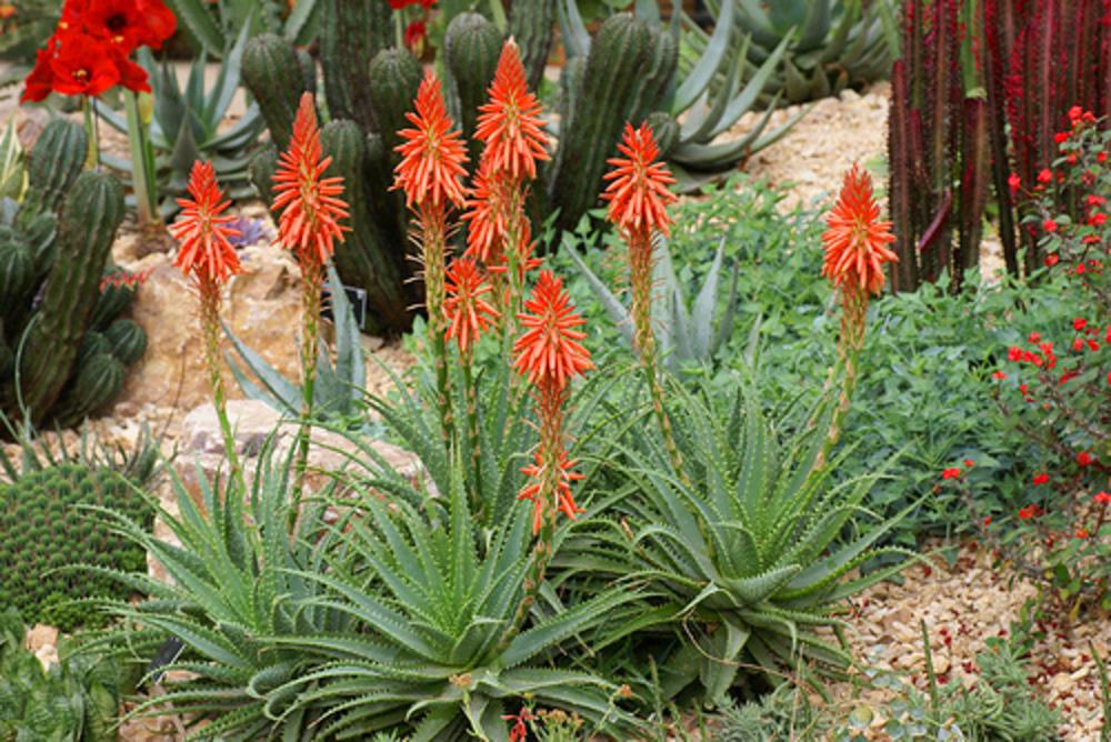 A Gift Of Aloe Aloe Humili Andhogp Spineless Hedgehog