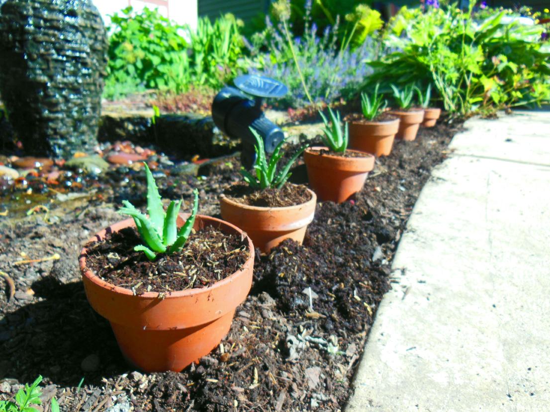 A Gift of Aloe – Aloe Humili 'Andhogp' Spineless Hedgehog