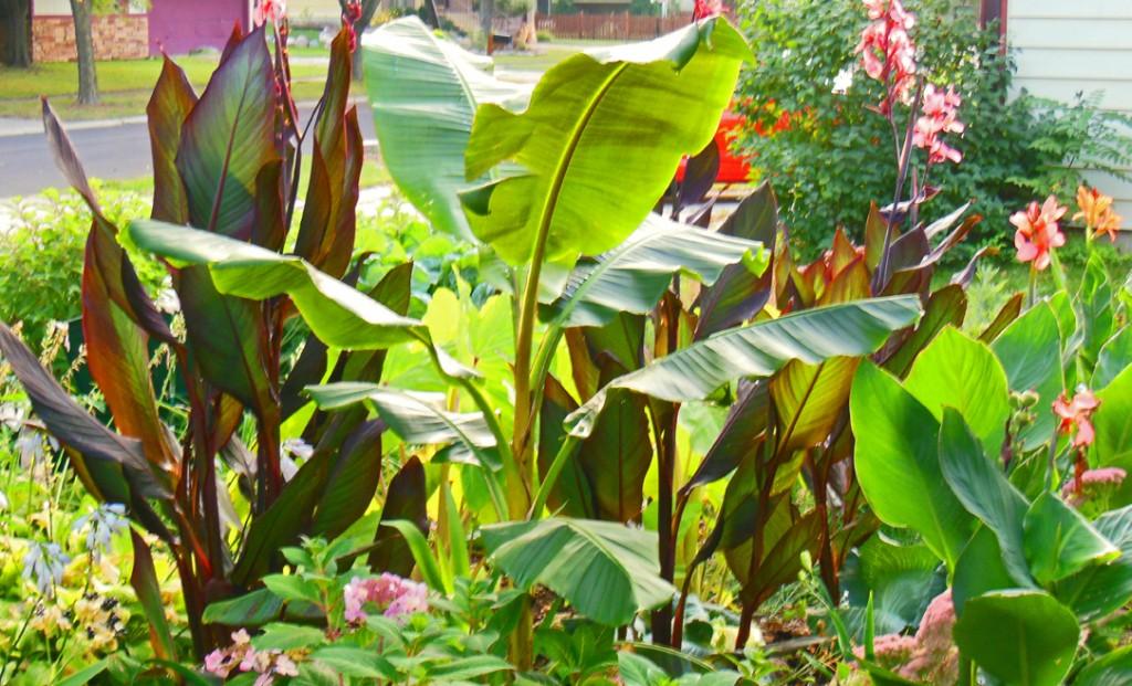 Shawna Coronado's Musa Basjoo Banana Plant