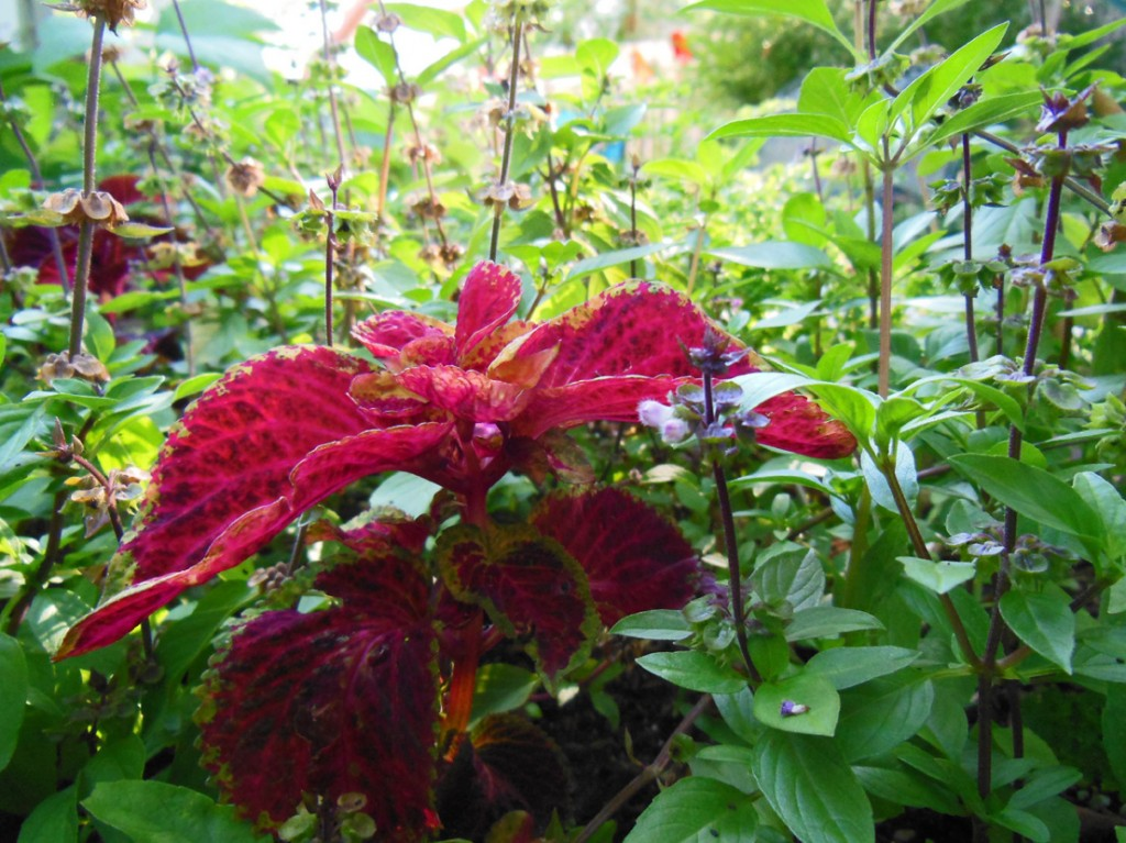 Coleus and Thai Basil