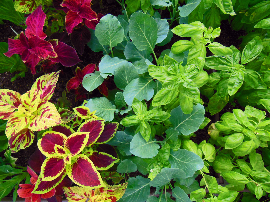 Coleus mixed with Basil and Collard Greens