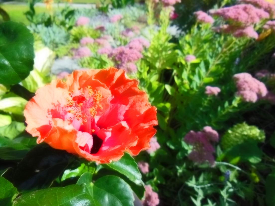 Hibiscus rosa-sinensis 'Erin Rachel' early morning