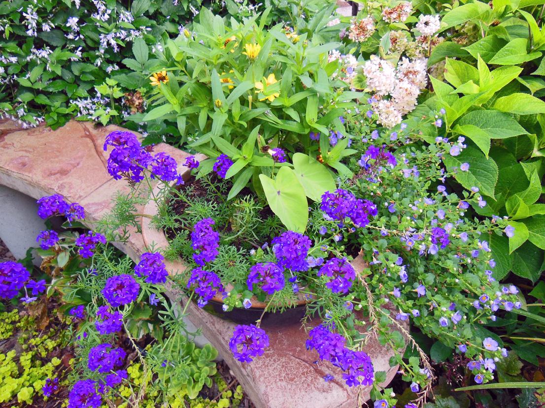 Planting Combination For Verbena, Bacopa, Colocasia, and Zinnia Annuals