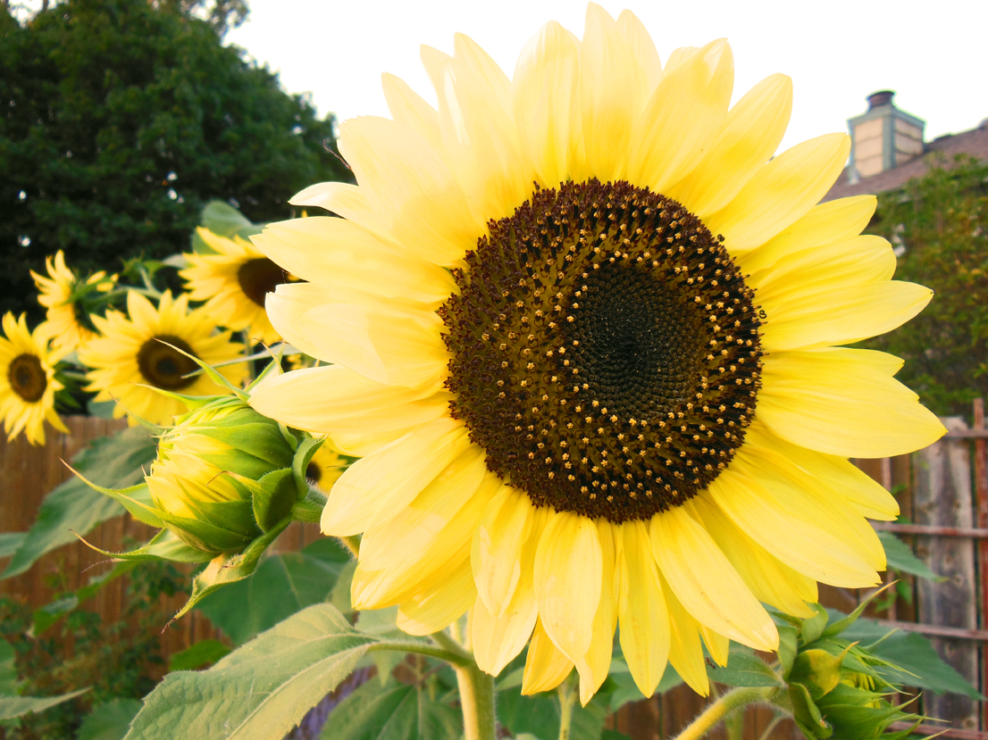 How To Grow An Organic Sunflower in Your Garden