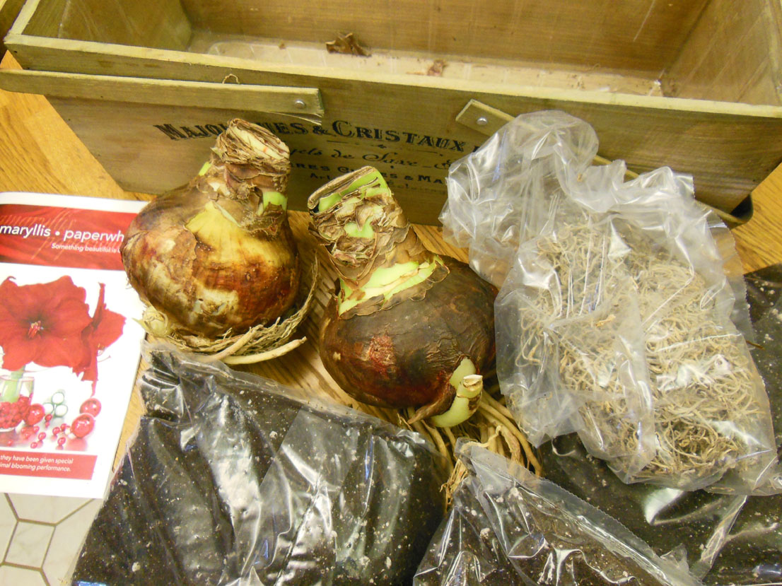 Amaryllis Kit from Longfield Gardens