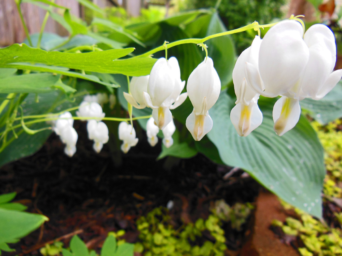 White Bleeding Hearts in May