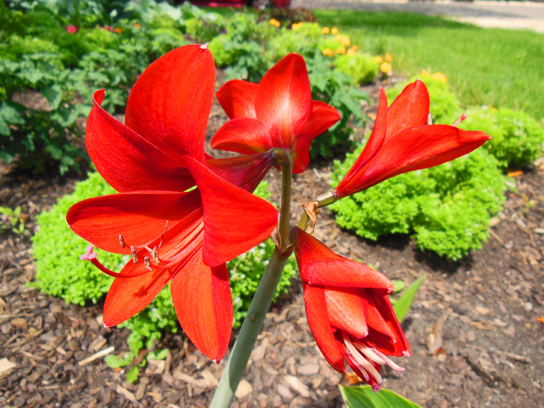 Amaryllis in Shawna Coronado garden Christmas in July