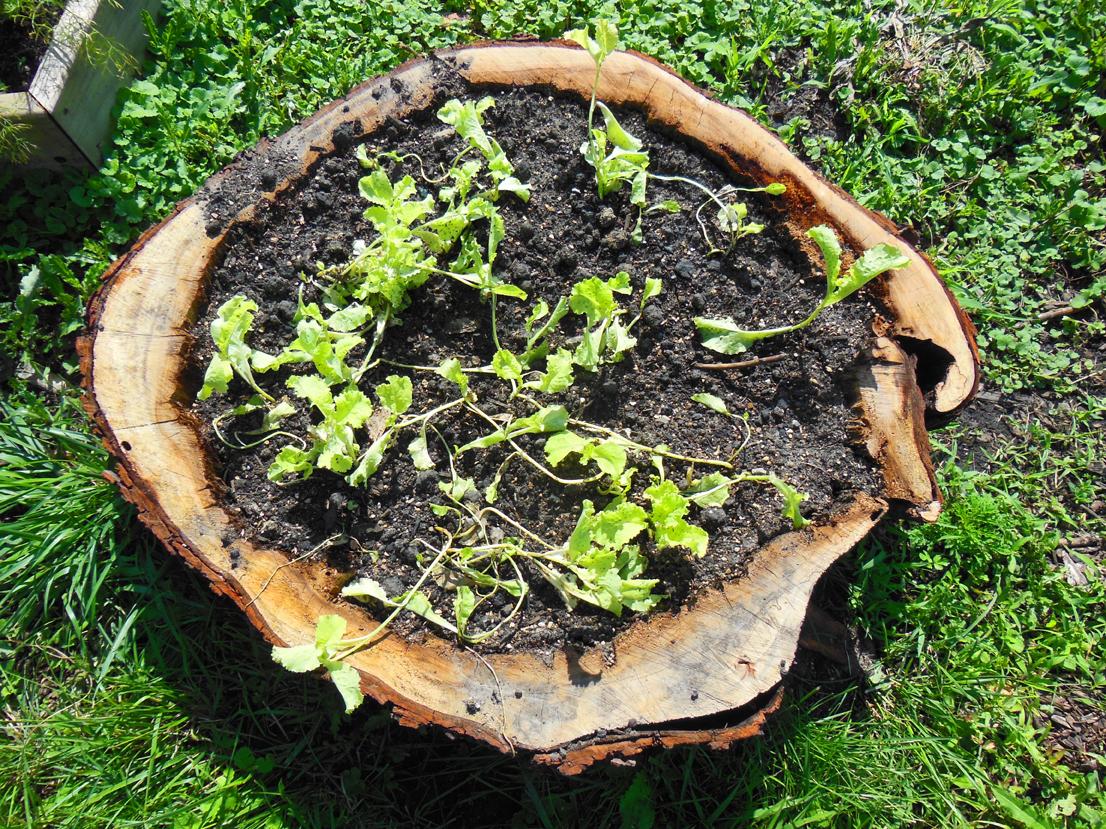 Stump Lettuce Garden Planter growing