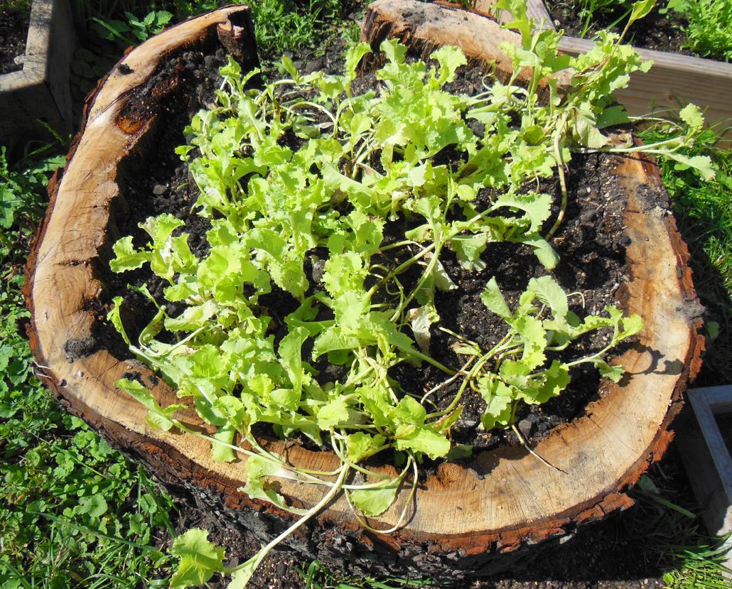 Stump Lettuce Garden with Lettuce Seed Growing