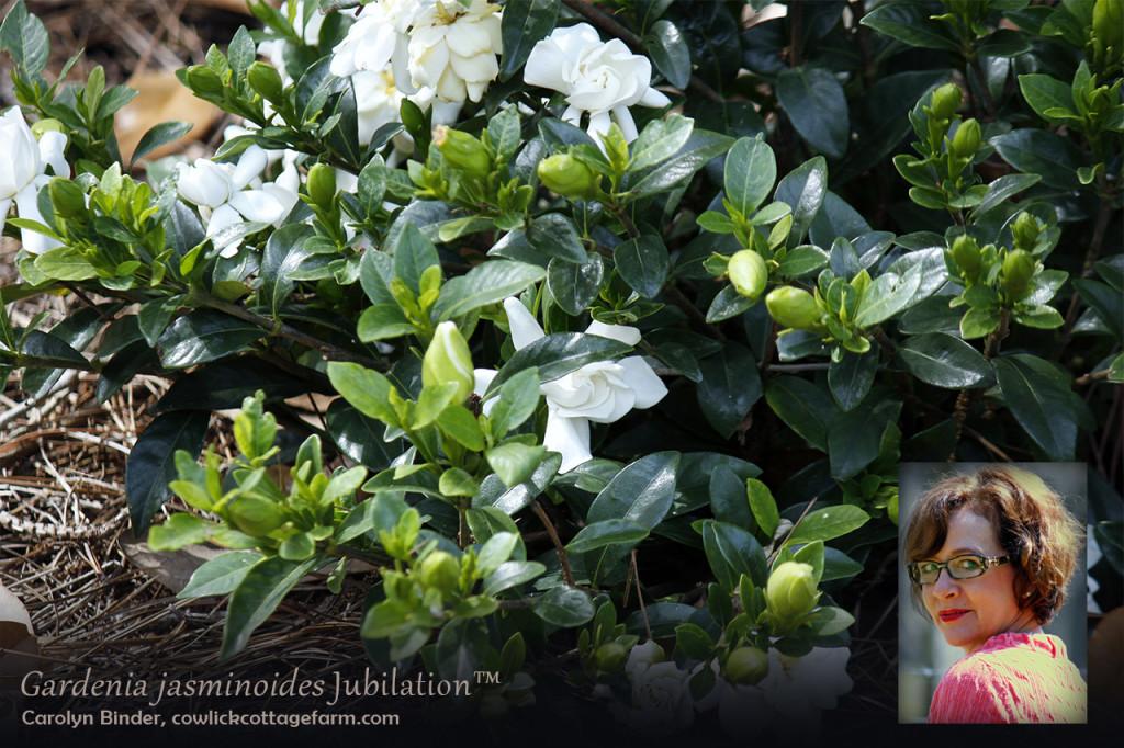 Carolyn Binder Gardenia