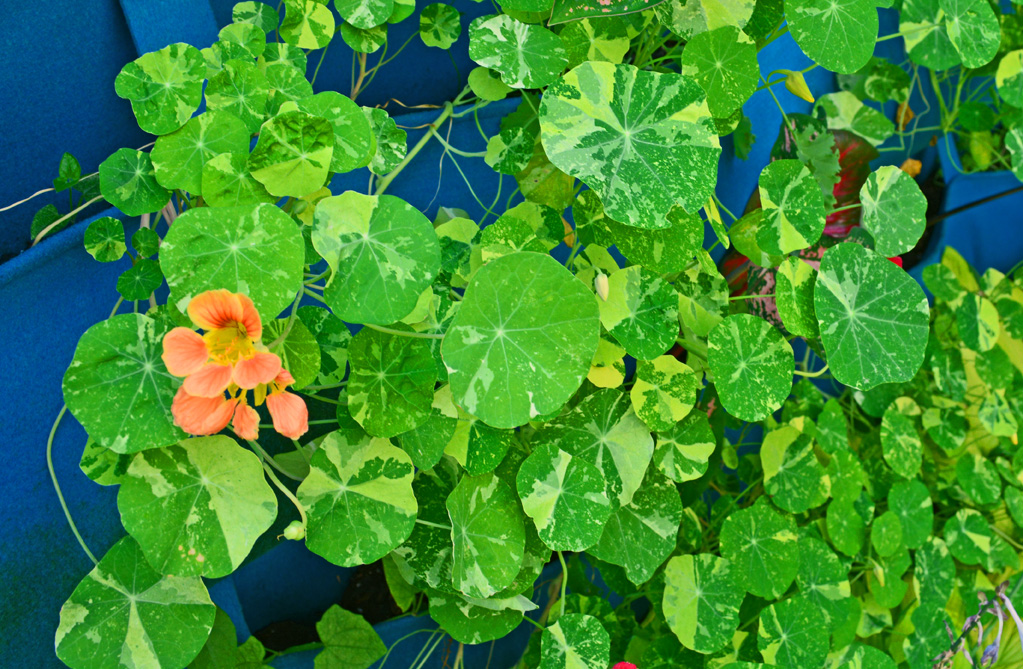 Nasturtiums growing in Shawna Coronado vertical wall garden