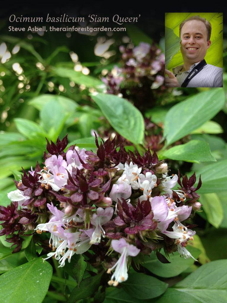 Steve Asbell Thai Basil Siam Queen