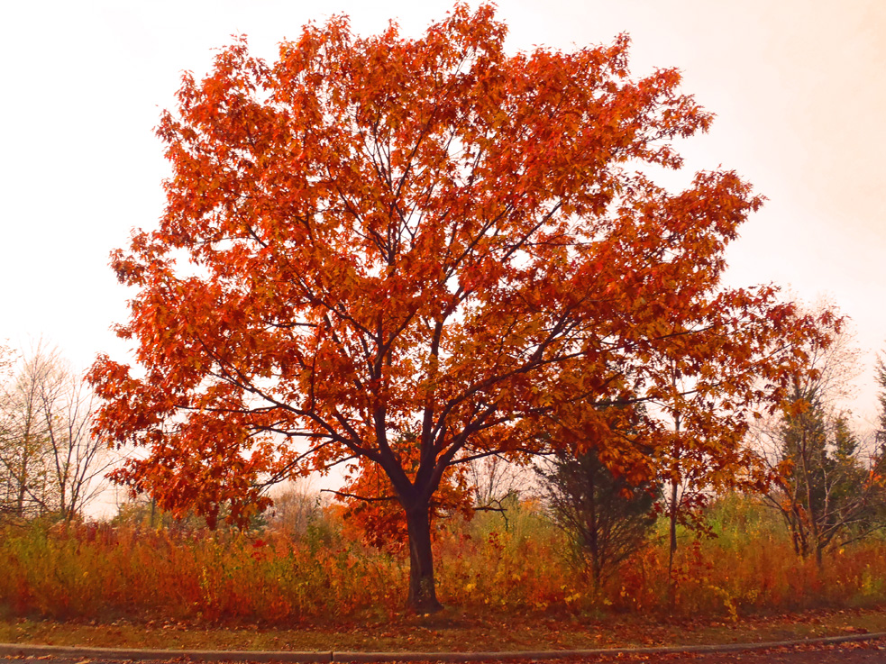 red fall tree in illinois by shawna coronado