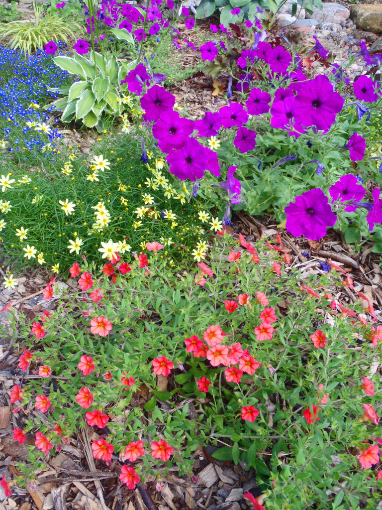 Petunia and other annual flowers in a mixed garden planting