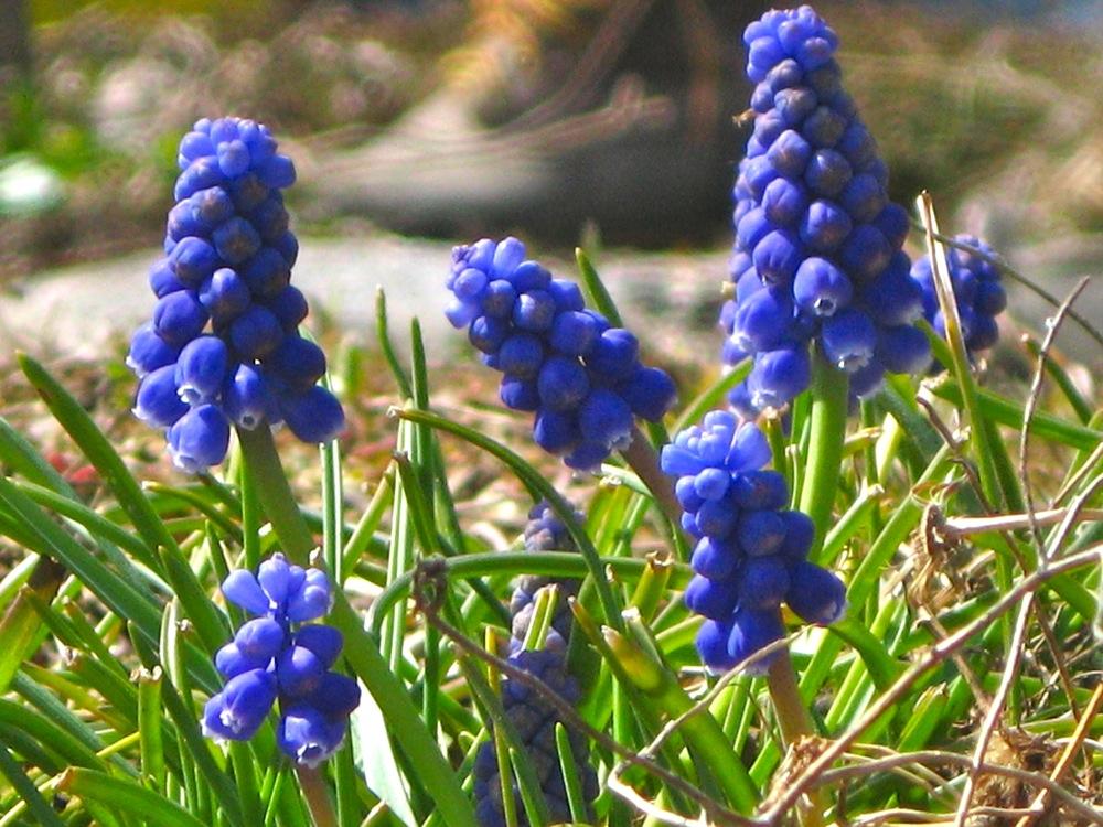 Donna Abel Spring Hyacinths