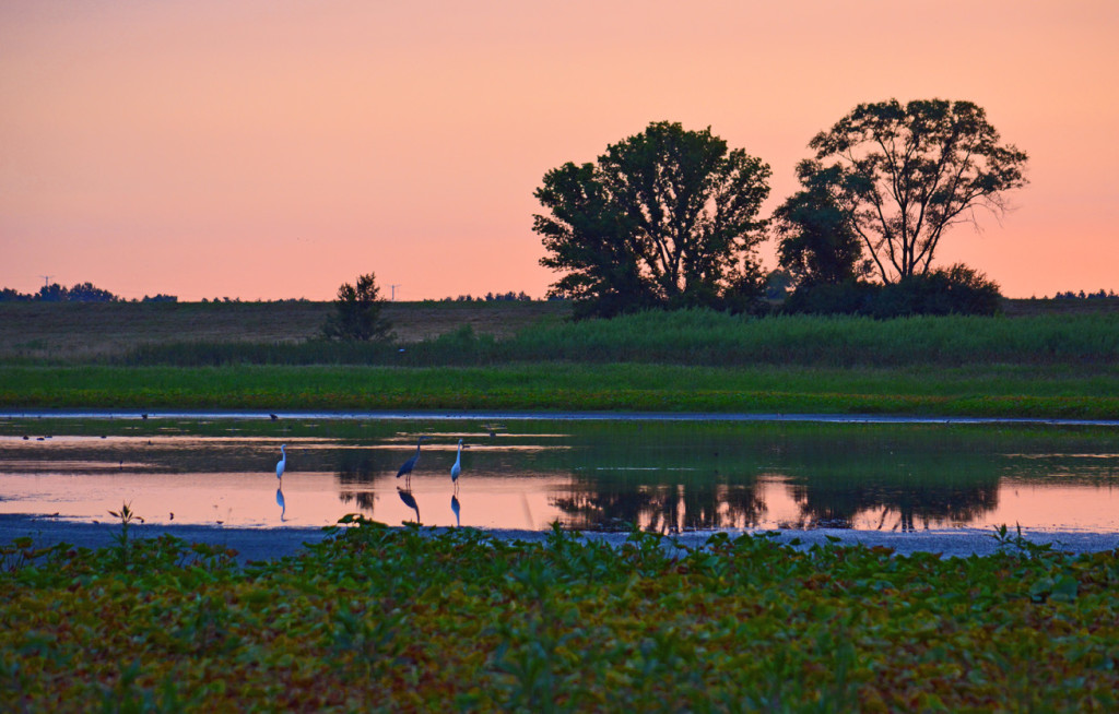 Egrets at the prairie in Fermilab Natural Areas