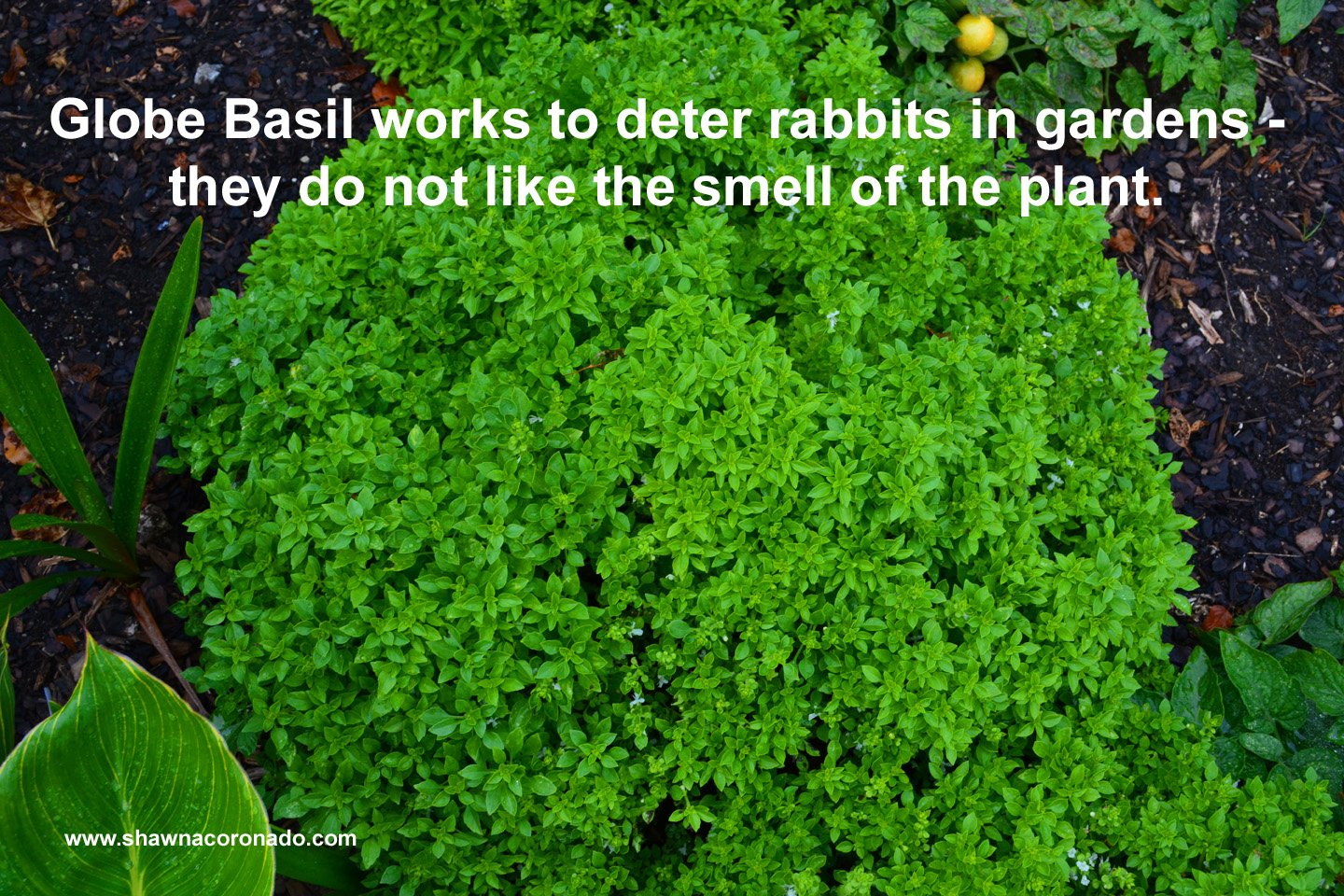 Globe Basil Is A Rabbit Resistant Plant In The Garden