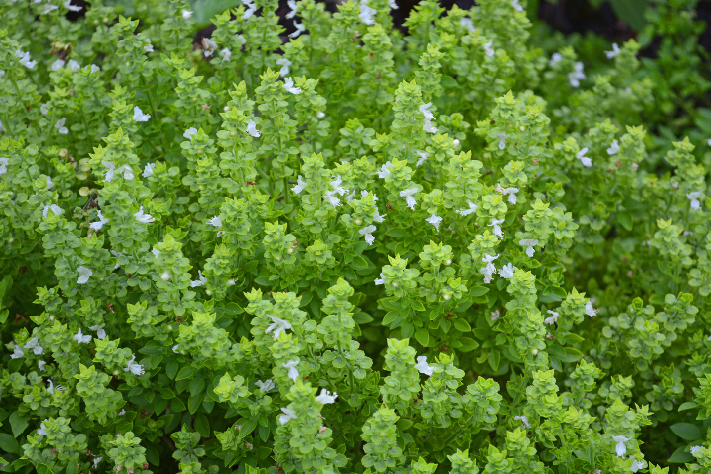 Globe Basil Is A Rabbit Resistant Plant In The Garden Shawna Coronado