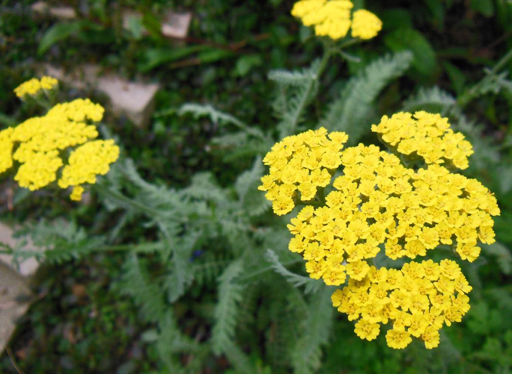 How To Grow Yarrow - Achillea Coronation Gold - Shawna ... Yarrow Plant Yellow