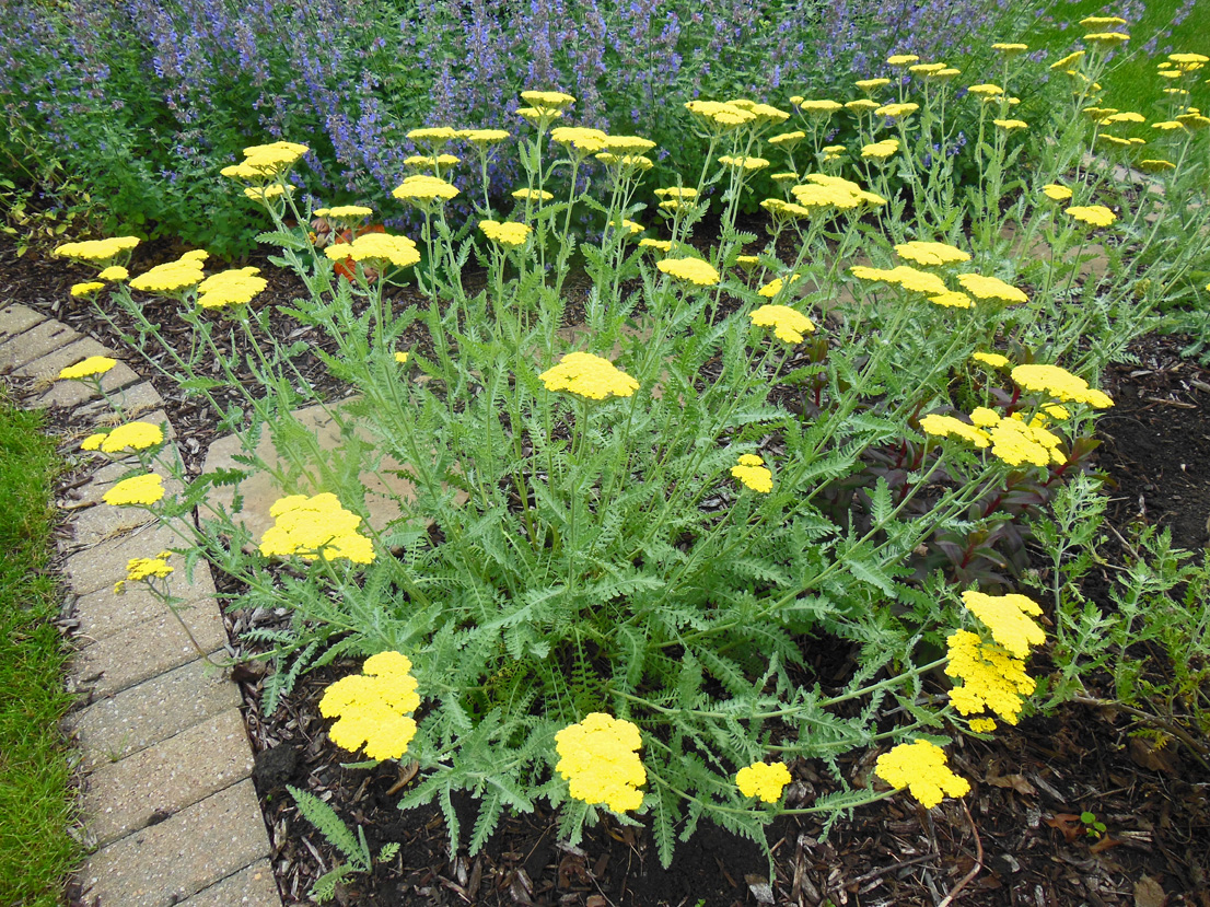 How to grow yarrow achillea coronation gold shawna for Planting a garden