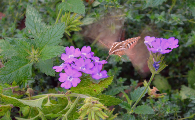 Hummingbird Moth on Verbena Flower