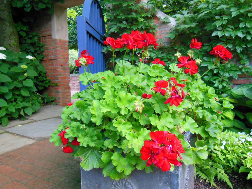 Red Geranium with Blue Door