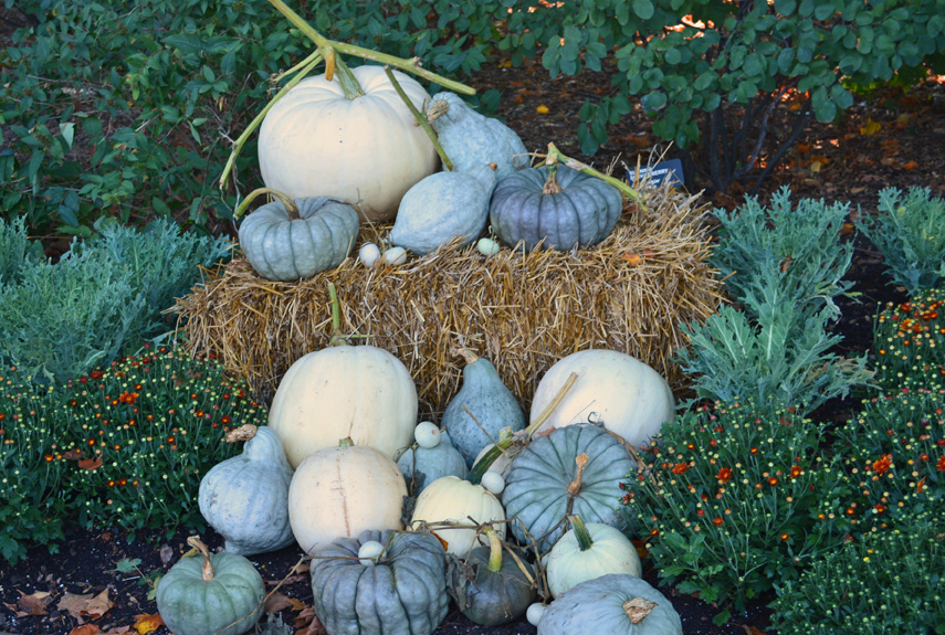 Tips For Growing White Pumpkins