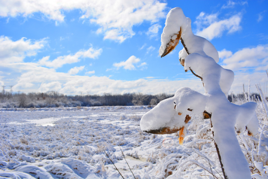 Nepese Marsh frozen with snowy butterfly weed fermilab