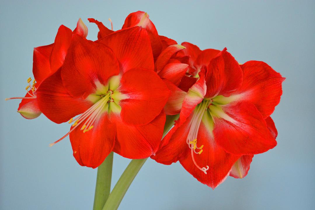 Amaryllis as a Year Round Houseplant