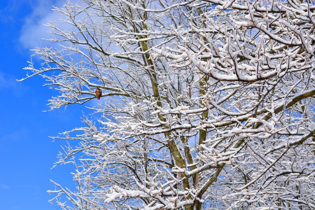 Red Tailed Hawk in Snowy Tree Fermilab