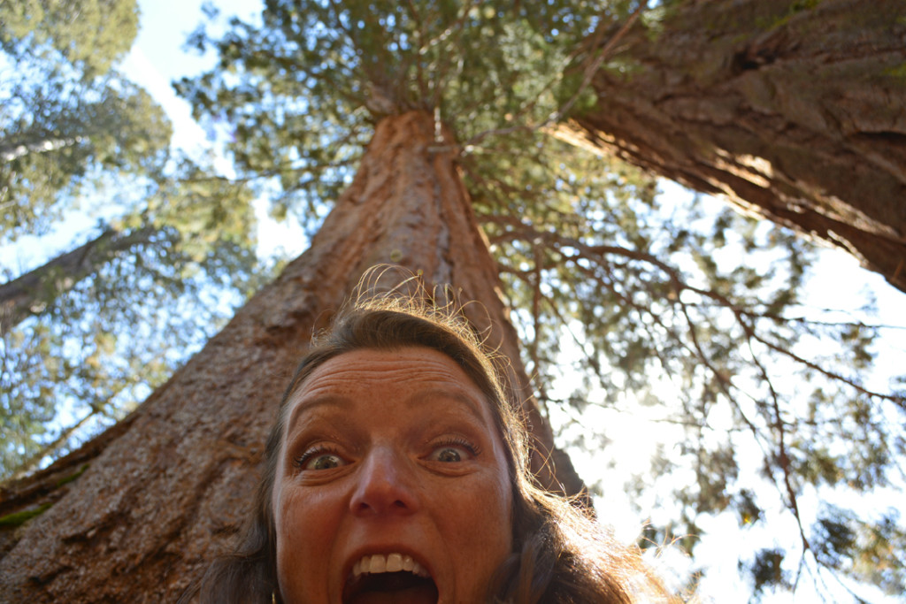 California Giant Redwood Sequoia at Mariposa Grove 2014