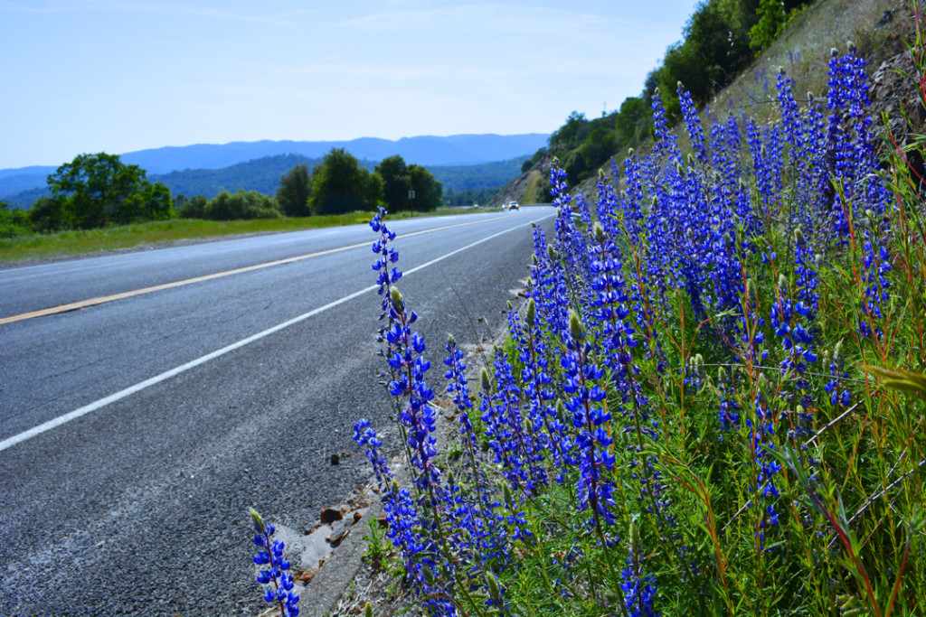 California Purple Roadside Lupine