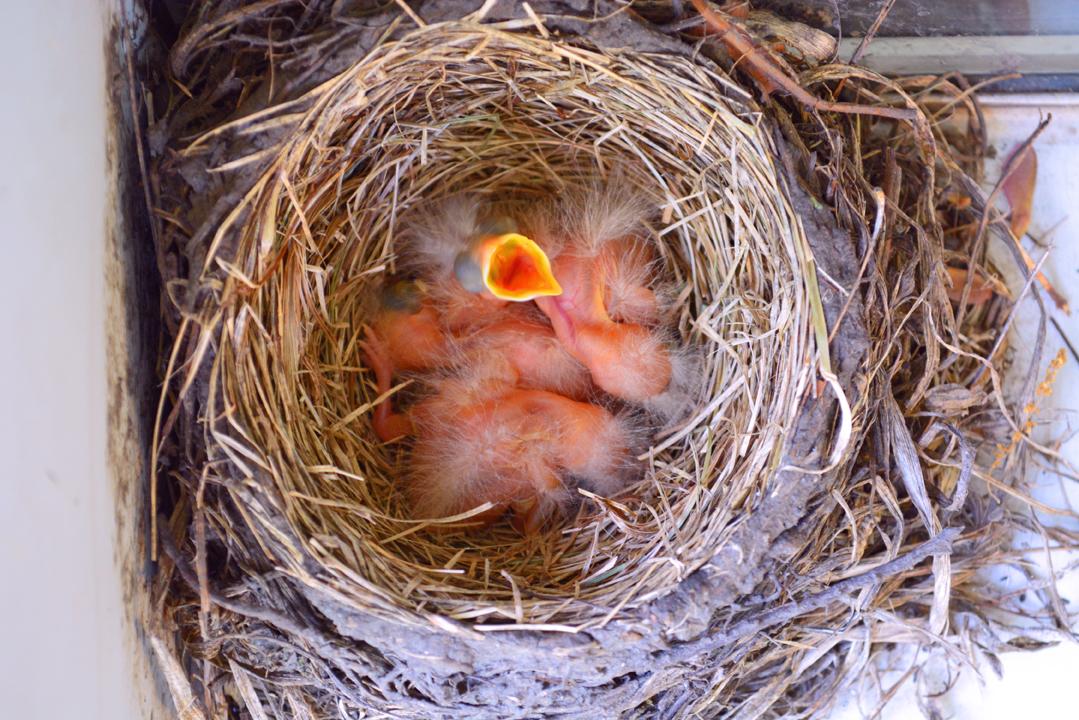 Robin Birds Hatch In My Garden