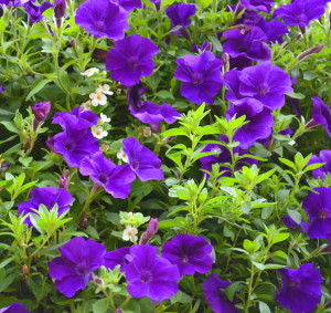 Petunias Kokomo HGTV Flower Display