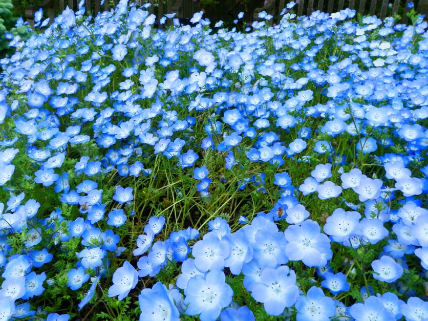How to Grow Baby Blue Eyes Flowers (Nemophila menziesii)