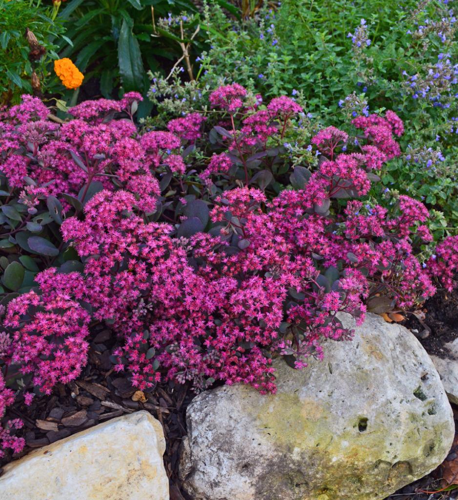 Ruby Glow Sedum Stonecrop Groundcover