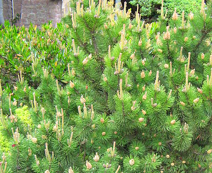Mugo Pine (Pinus mugo) for Winter Garden Interest