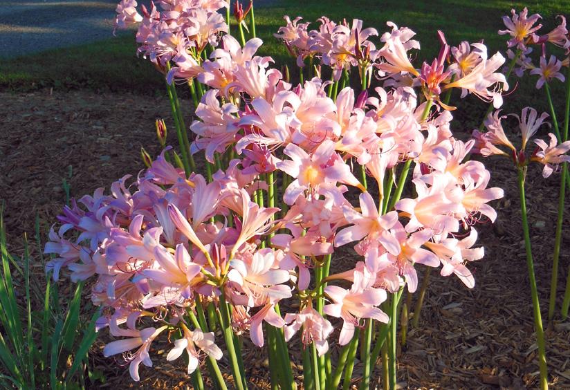 Plant a Pink Surprise Lily Bulb (Lycoris squamigera)
