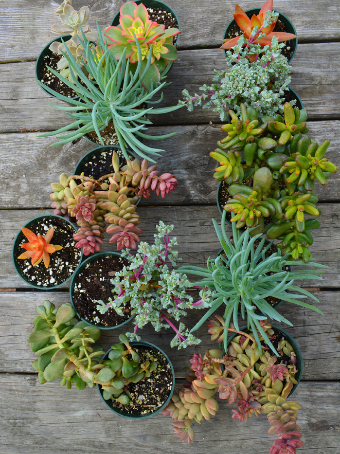 Succulent Plants Ready For Garden