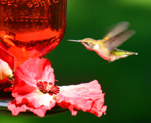 Hummingbird Swallowing Nectar