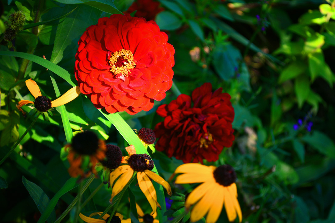 Will Rogers Zinnia from Jung Seed