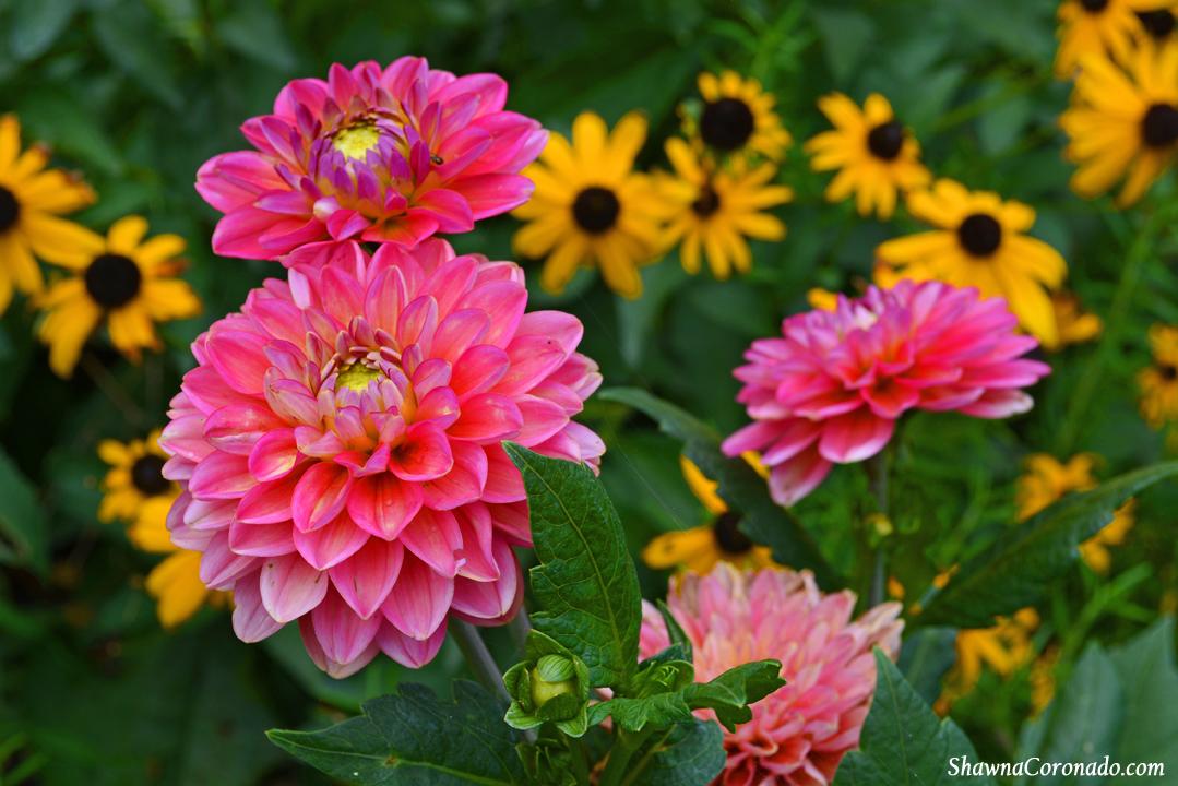 How To Grow a Dahlia Flower